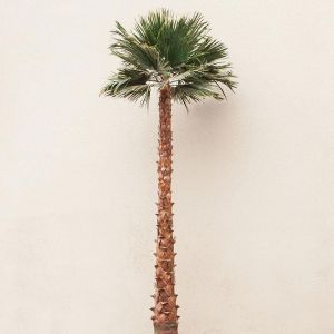 Preserved Fan Palm Tree