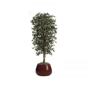 6.5' Ficus Retusa Tree - Green|Indoor