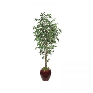 7' Benjamina Ficus Tree - Green|Indoor