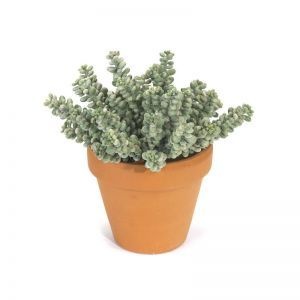 7in. Fat Sedum Bush - Green|Indoor