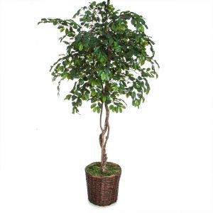 7' Fruitless Citrus Tree in 16inD Dark Stained Basket