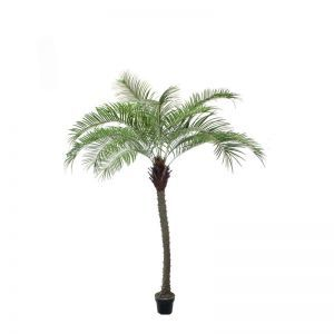 10' Giant Phoenix Palm Tree