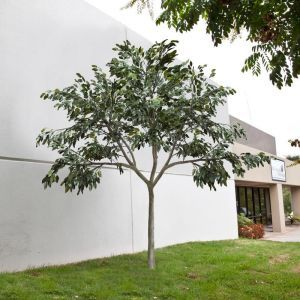 Indoor Rated Ficus Tree