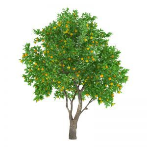 Indoor Rated Fruit Tree