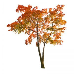 Indoor Rated Maple Tree