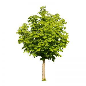 Inherently Fire Retardant Rated Chestnut Tree