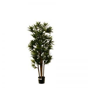 5', 7' or 8' Potted Dracaena Reflexa Multi Tree