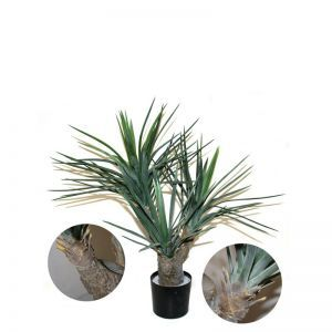 3' or 5' Potted Pineapple Yucca