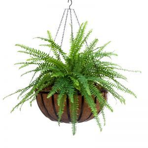 Sword Fern in English Garden Hanging Basket with Real Moss Topper