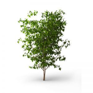 UV Rated Laurel Tree