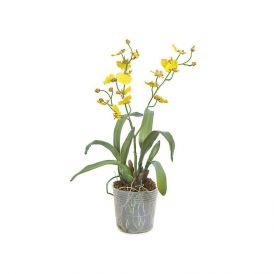 16in. Dancing Orchid - Yellow, Indoor