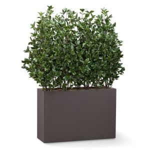 Cherry Laurel Shrub Dividers, Outdoor