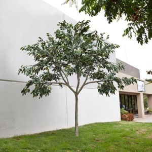 UV Rated Ficus Tree with Natural Trunk