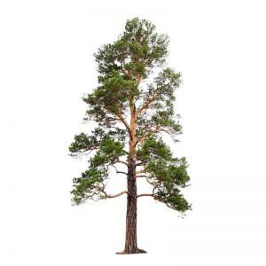 UV Rated Pine Tree with Natural Trunk