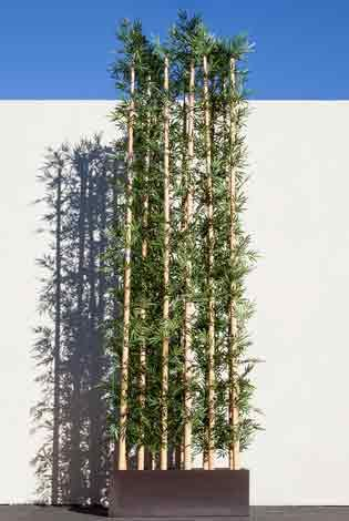 Jumbo Bamboo the Size of Buildings